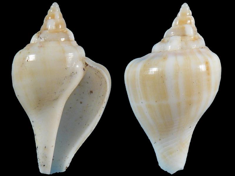 Gibberulus gibberulus (Linnaeus, 1758) juvénile 5609
