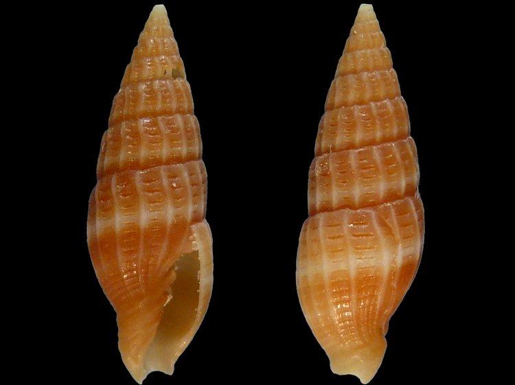 Vexillum radius - (Reeve, 1845) 9062_14mm