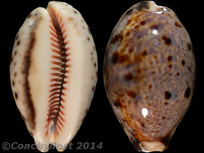 Lyncina lynx nigrolineata - Bozzetti, 2014 - Page 2 10364