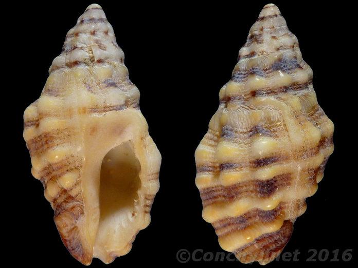 Muricidae d'Australie (Queensland) 12522