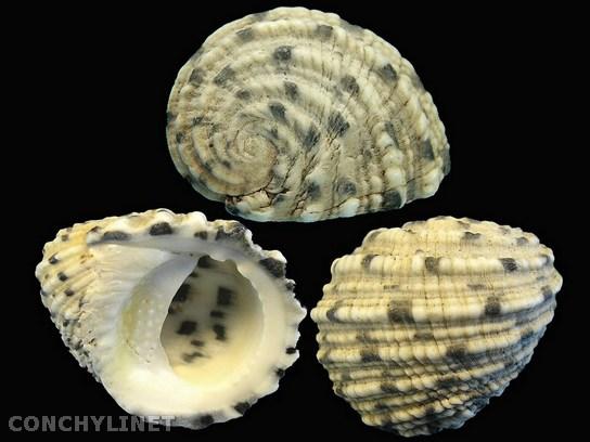 Nerita grisea - Reeve, 1855 3000